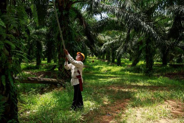 """可持续棕榈油""""正处在紧要关口"""""""