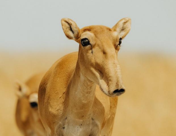 拯救古老的中亚赛加羚羊
