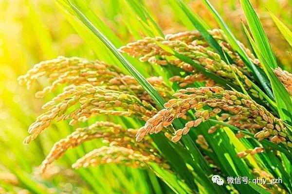 """秦晖:""""膏粱""""复归——杂交水稻传奇"""