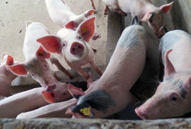 阿根廷养猪业引来中国投资