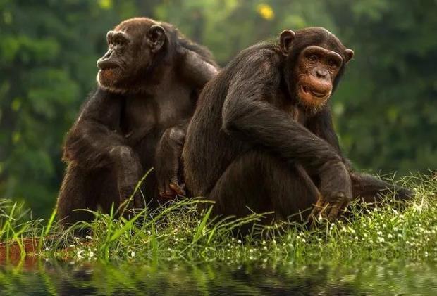 年龄越大朋友越少?猩猩也是一样