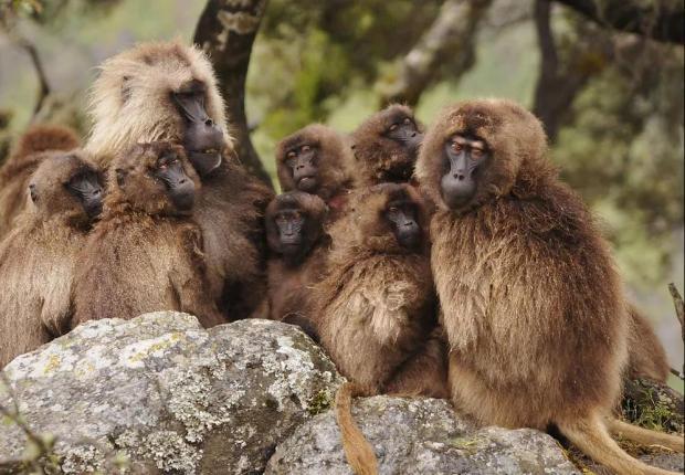 雌性狮尾狒发育的秘密:爸爸在就晚熟,遇到陌生雄性加快性成熟!
