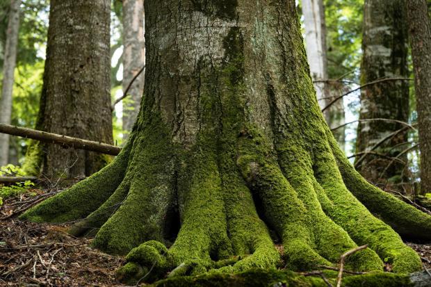 用树发电的BECCS技术:气候救星还是生态梦魇?