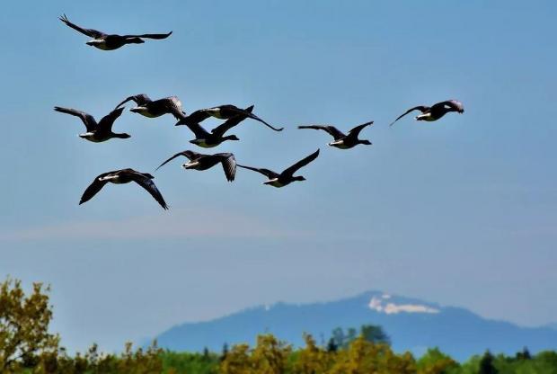 候鸟迁徙怎么飞,会迷路吗?科学家揭秘其中关键基因
