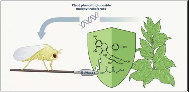 小虫窃取植物基因 获得抗毒超能力