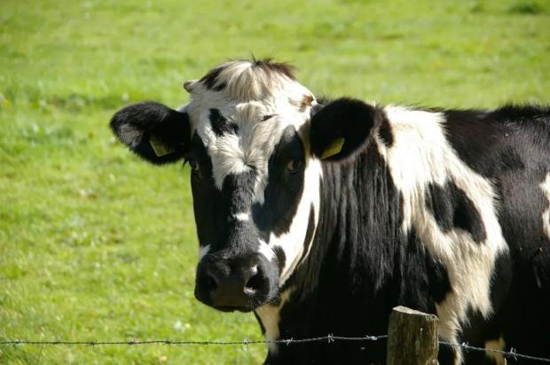 提问:奶牛打嗝,排出多少甲烷?