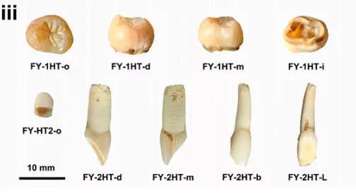 争鸣:人牙还是鹿牙?中国南方古人类论文引发笔战