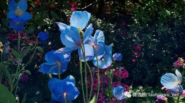 又见喜马拉雅蓝罂粟