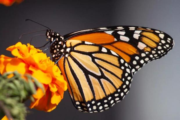 跨国迁徙的帝王蝶,能够跨越气候变化吗?