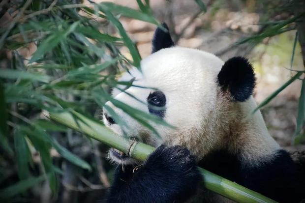 濒危程度降级之后,为什么还要保护大熊猫?