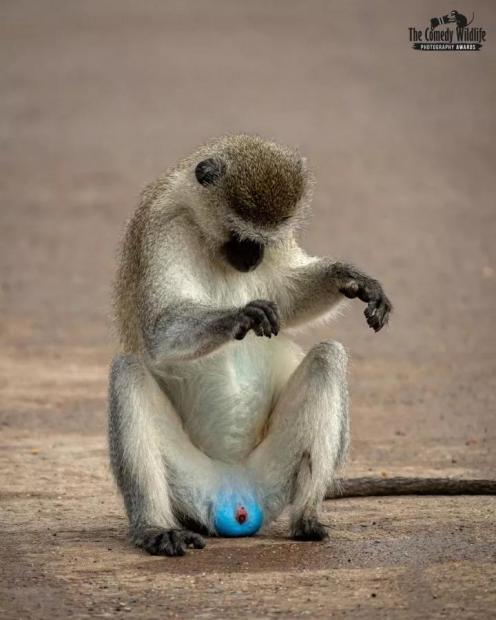 为什么有些猴子的蛋蛋是蓝色的?丨奇怪的动物知识