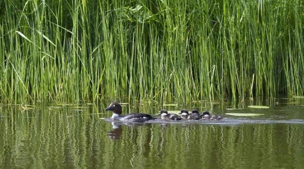 """鸭群过河,为什么排成 """"一"""" 字形?"""